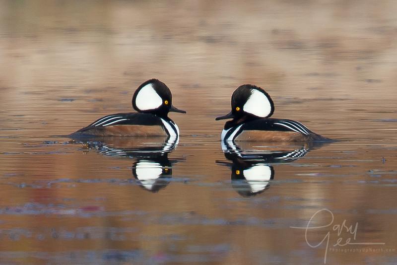 Hooded Merganser reflective pair