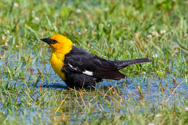 Yellow-Headed Blackbird taking a bath