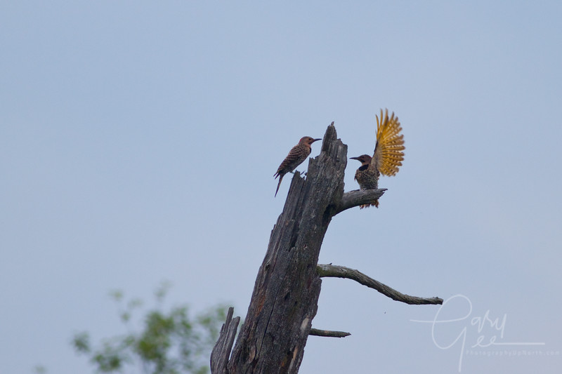 Northern Flickers and their mating displays