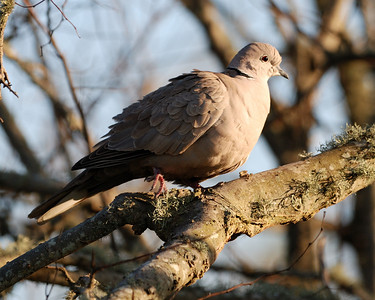 Eurasian Collared-Dove; Quintana Bird Sanctuary