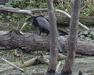 Cormorant with fish at Brazos Bend State Park