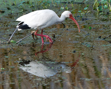 White Ibis at Brazos Bend State Park
