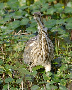 American Bittern at Brazos Bend State Park