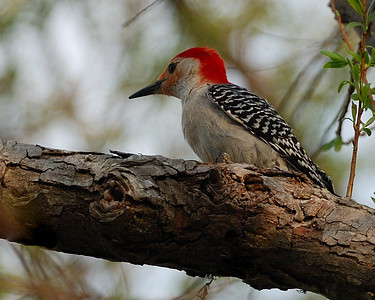 Red-bellied Woodpecker at Brazos Bend State Park