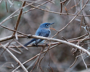 Blue-gray Gnatcher at Brazos Bend State Park