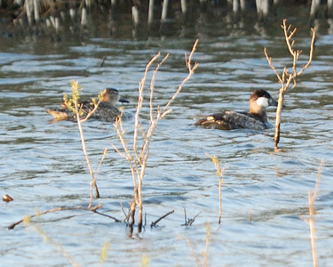 Ruddy Duck - winter; San Bernard Wildlife Refuge