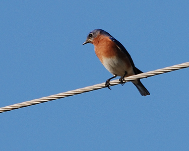 Eastern Bluebird; Gulf Coast Bird Observatory