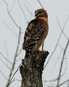 Red-shouldered Hawk; Bay City, TX