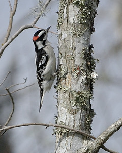 Downy Woodpecker; Brazos Bend State Park