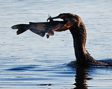 Double-crested Cormorant with the catch of the day; Brazos Bend State Park