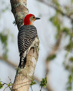 Red-bellied Woodpecker; Brazos Bend State Bend