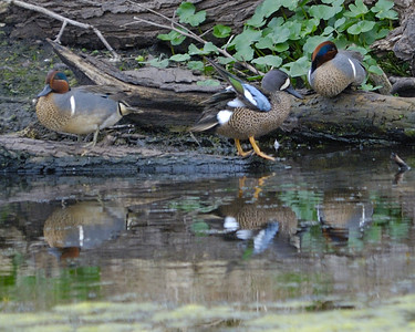Green-winged and Blue-winged Teal; Brazos Bend State Park