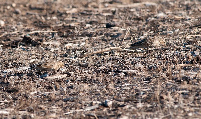 Chestnut-collared Longspurs