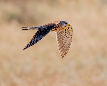 EURASIAN KESTREL, OUAD MASSA, NEAR SIDI OUASSAY, SOUTH OF AGADIR, MOROCCO.