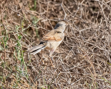 SPECTACLED WARBLER, CHAMPS D'AGHORMIZE, NEAR SIDI OUASSAY, SOUTH OF AGADIR, MOROCCO.