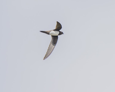 ALPINE SWIFT, OUED MASSA-CHAMPS D'AGHORMIZE, NEAR SIDI OUASSAY, SOUTH OF AGADIR, MOROCCO.