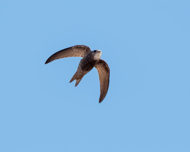 PALLID SWIFT, OUED MASSA-CHAMPS D'AGHORMIZE, NEAR SIDI OUASSAY, SOUTH OF AGADIR, MOROCCO.