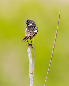 STONECHAT, OUED MASSA-CHAMPS D'AGHORMIZE, NEAR SIDI OUASSAY, SOUTH OF AGADIR, MOROCCO.