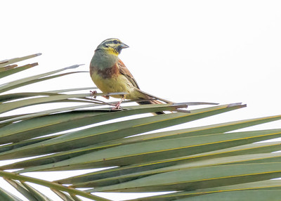 CIRL BUNTING, OUED MASSA-CHAMPS D'AGHORMIZE, NEAR SIDI OUASSAY, SOUTH OF AGADIR, MOROCCO.