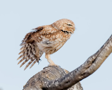 LITTLE OWL, OUAD MASSA, NEAR SIDI OUASSAY, SOUTH OF AGADIR, MOROCCO.