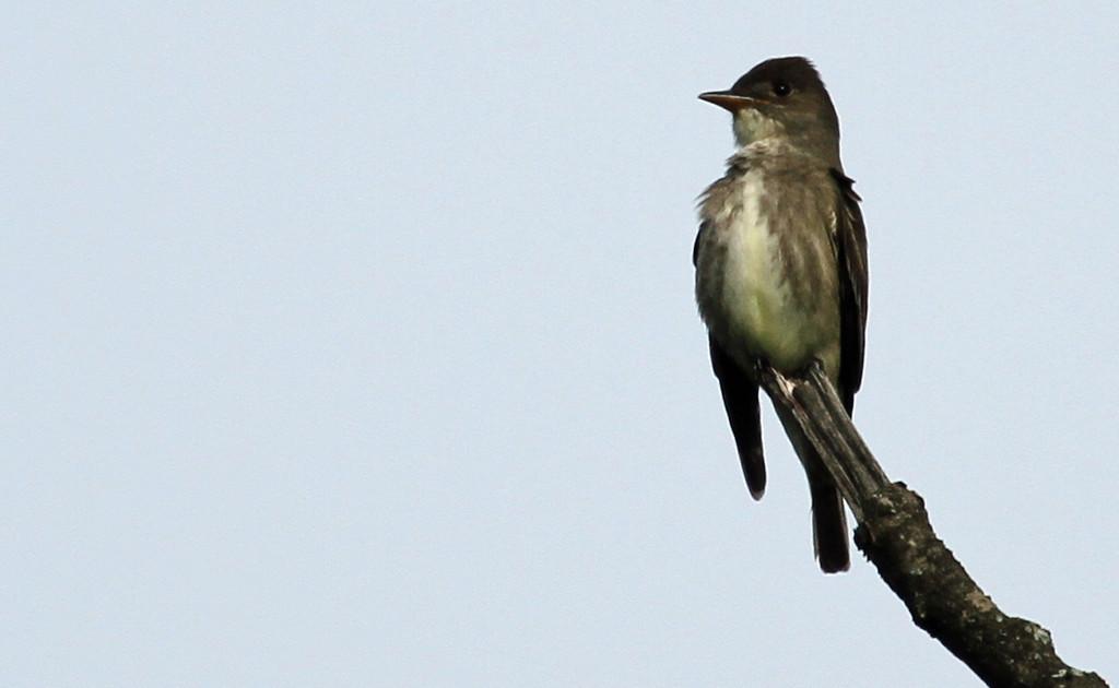 Olive-sided Flycatcher - Morton Arboretum