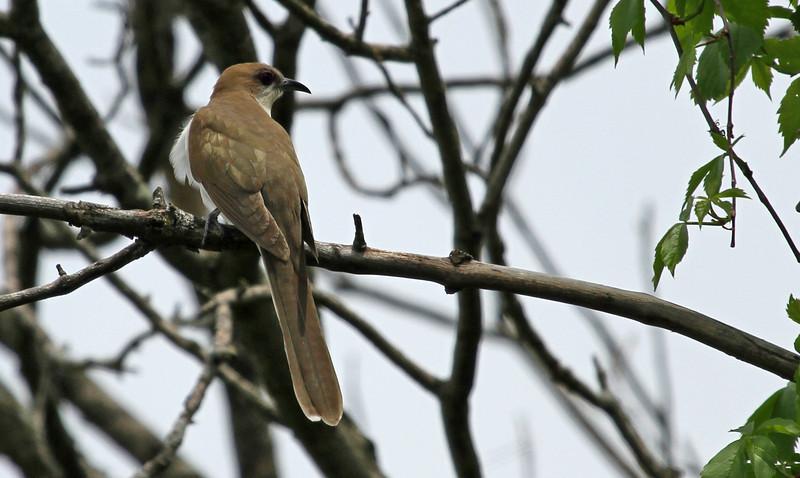 Black-billed Cuckoo - Elsen's Hill