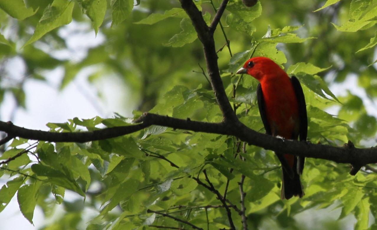 Scarlet Tanager - Morton Arb Eastside.