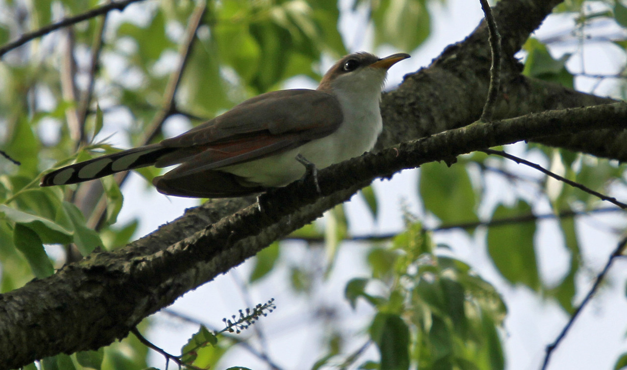 Yellow-billed Cuckoo - East side of Morton Arb along the service road  adjacent to Hidden Lakes.