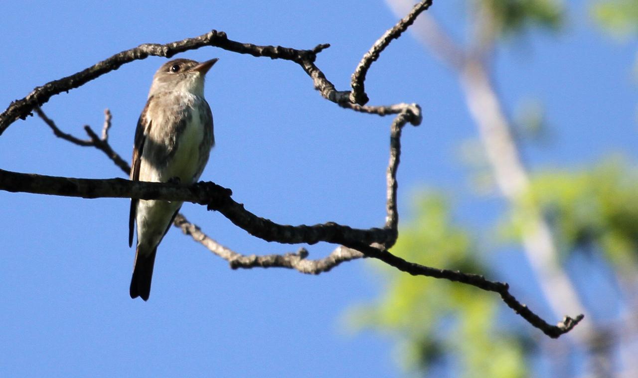 Olive-sided Flycatcher - Elsen's Hill