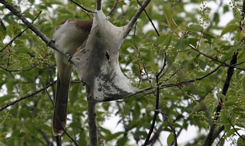 Black-billed Cuckoo finds tent caterperpillar - Elen's Hill