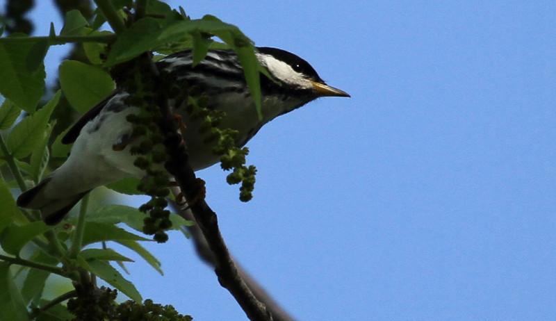 Blackpoll Warbler - Elsen's Hill