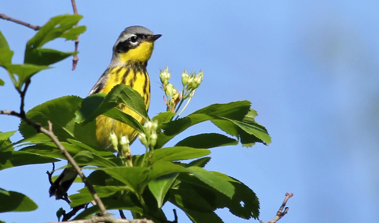 Magnolia Warbler - Elsen's Hill