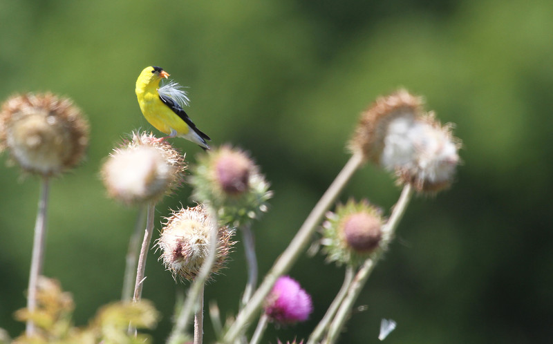 American Goldfinch - Collecting nesting material or feeding?