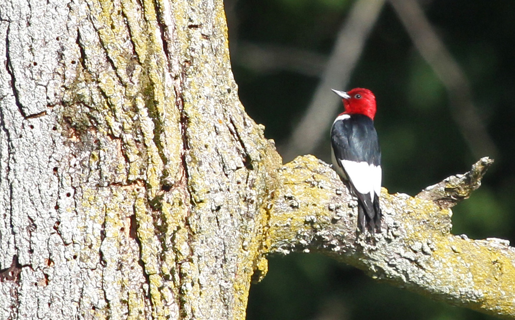 Red-headed Woodpecker - A pair of Red-headed Woodpecker gave us long closeup looks and returned many times for a second and third look.