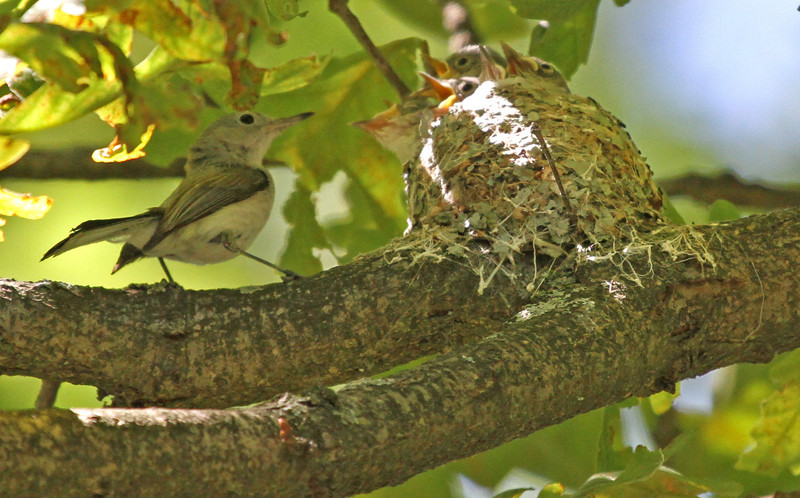 Blue-gray Gnatcatcher - I counted six ready to fledge.