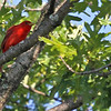 Summer Tanager - High up in the oak tree, but singing loudly and continuously.