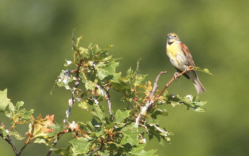 Dickcissel - We had several views of Dickcissels, but the concensus was that this was the best looking.