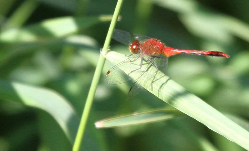 Anybody known the name of this dragonfly?