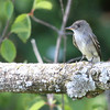 Eastern Wood-pewee - I THINK this is a young Eastern Wood-pewee. We did see adults in the area.