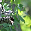 Blue-gray Gnatcatcher - She/He is bringing food back to the nest. I wonder if the fanned tail means she irritated at us?