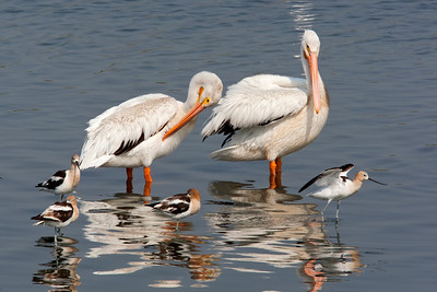 White Pelicans and Avocets