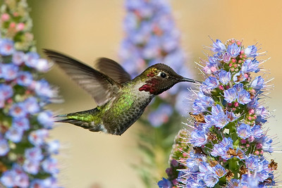 Anna's Hummingbird at flower