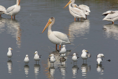 Gulls and White Pelican in formation.