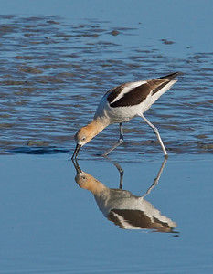 American Avocet poking