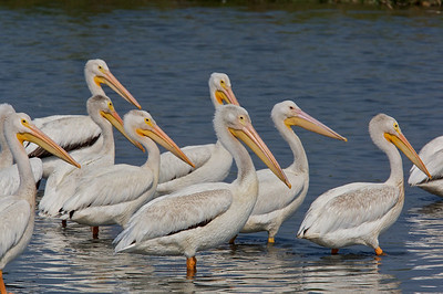 White pelicans at attention