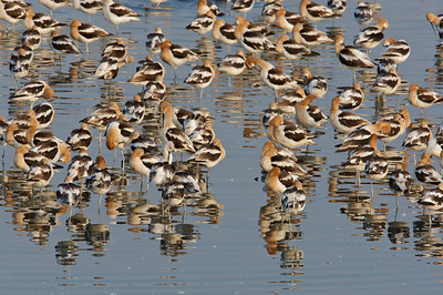 Many Avocets