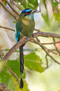 Blue-crowned Motmot - Hotel Bouganvillea, Heredia, Costa Rica