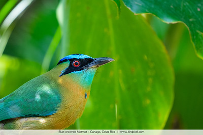 Blue-crowned Motmot - Cartago, Costa Rica