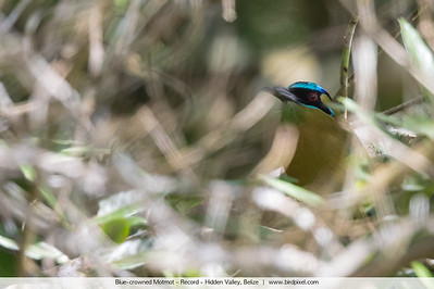 Blue-crowned Motmot - Record - Hidden Valley, Belize