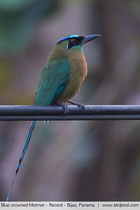 Blue-crowned Motmot - Record - Bijao, Panama